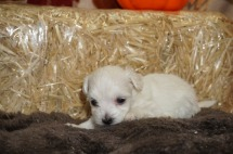 Paris Female CKC Havanese Born 9/6 $1750 Ready 11/2 AVAILABLE 9.3 oz 3W4D Old