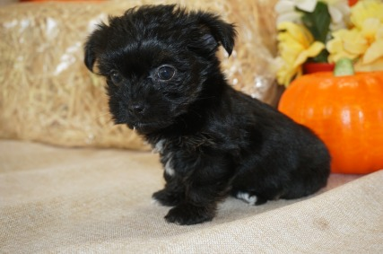 Peanut Female CKC Havashire $1750 Ready 10/13 SOLD MY NEW HOME JACKSONVILLE, FL 1.6 LBS 6W3D Old