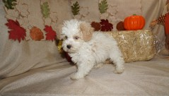 Rex Male CKC Havapoo $1750 Ready 9/18 SOLD MY NEW HOME BLUFFTON, SC 11.5 oz 3 Weeks old