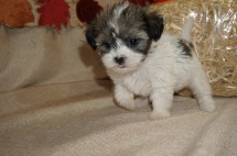 Tilly (Sadie) Female CKC Havashu Born 8/20 $1750 Ready 10/15 SOLD MY NEW HOME ST AUGUSTINE, FL 1.12 lbs 6W1D Old