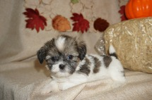 Toby Male Havashu Born 8/20 $1750 Ready 10/15 SOLD MY NEW HOME JACKSONVILLE, FL 1.11 lbs 6W1D Old