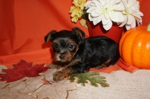 Veronica Female CKC Yorkie $1750 Ready SOLD MY NEW HOME JACKSONVILLE, FL 1.8lbs 5wk2d old