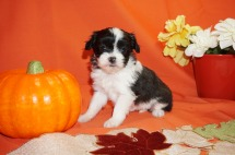 Victoria Female CKC Miki Born 9/10 $2000 Ready 11/5 AVAILABLE 1.1lbs 5wk2d old