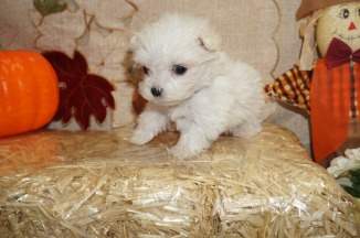 Alaska Male CKC Malshi Born 8/18 $1750 Ready 10/13 HAS HOLD 12.5 oz 6W3D old