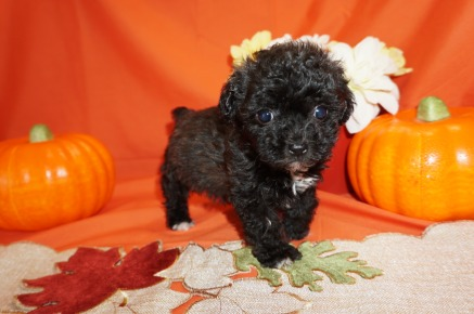 Jake Male CKC Maltipoo $2000 Ready 10/23 SOLD MY NEW HOME JACKSONVILLE, FL 1.2lbs 7wk1d old