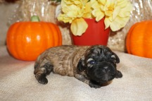 Kiwi Female CKC Shihpoo $1750 Ready 11/14 HAS DEPOSIT I'M GOING TO JACKSONVILLE, FL, 13 oz Just Born