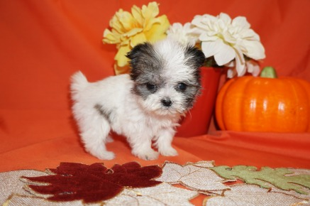 Lucy Female CKC Shorkie $2000 Ready 10/31 SOLD I'm going to Carmel, ME 9.2oz 5wk6d old