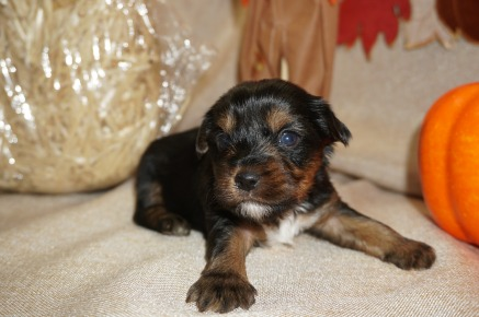 Scooby Doo Male CKC Yorkie $1750 Ready 11/5 AVAILABLE 1.7 lbs 3 wks old