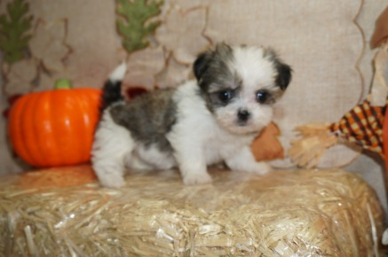 Tink (Faye) Female CKC Havashu Born 8/20 $1750 Ready 10/15 SOLD 11.4 lbs 6W1D Old