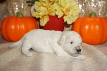 Kala Female CKC Shihpoo $1750 Ready 11/14 AVAILABLE, 1.2 lbs Just Born