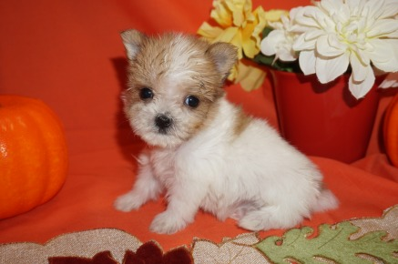 Lightning Male CKC Shorkie $2000 Ready 10/31 SOLD I'M GOING TO LONGWOOD, FL 13.5oz 5wk6d old