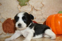 Lilo Female CKC Miki Born 9/10 $2000 Ready 11/5 https://tlcpuppylove.com/category/puppies/maltipoo-available-puppies/ 1 lb 3 Wks Old
