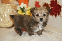 Nugget Male CKC Havashire Born 8/18 $1750 Ready 10/13 SOLD MY NEW HOME PONTE VEDRA BEACH , FL 1.11 LBS 6W3D OLD