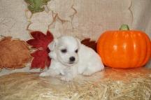 Precious Female CKC Havanese Born 9/6 $1750 Ready 11/2 HAS DEPOSIT GOING TO FERNANDINA, FL 11.4 oz 3W4D Old
