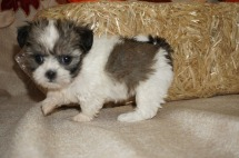 Trixie (Lexie) Female CKC Havashu Born 8/20 $1750 Ready 10/15 SOLD MY NEW HOME ST AUGUSTINE, FL 1.6 lbs 6W1D Old