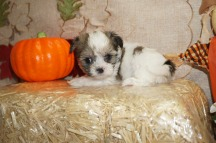 Tucker Male Havashu Born 8/20 $1750 Ready 10/15 SOLD MY NEW HOME ORANGE PARK, FL 1.6 lbs 6W1D old