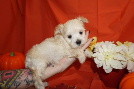 Honey Bee (Lexie) Female CKC Havanese Born 9/5 $1750 Ready 11/1 SOLD MY NEW HOME ST JOHNS, FL 1.9lbs 6wks old