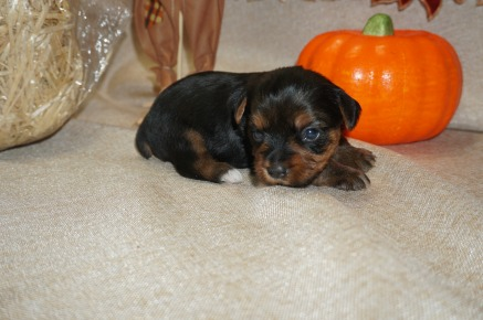 Shaggy Male CKC Yorkie $1750 Ready 11/5 AVAILABLE 1.6 lbs 3 Wks Old