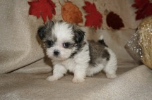 Tink (Faye) Female CKC Havashu Born 8/20 $1750 Ready 10/15 SOLD I'm in COPPELL, TX 11.4 lbs 6W1D Old