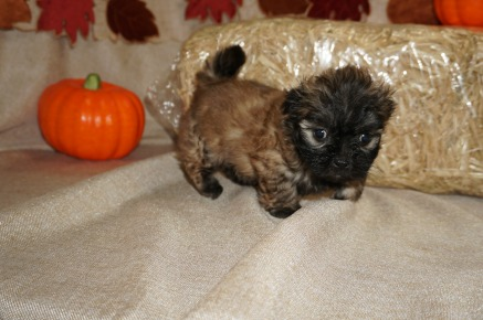 Ace (Bambi) Male CKC Malshi Born 8/18 $1750 Ready 10/13 SOLD MY NEW HOME GAINESVILLE, FL 1.1 lbs 6W3D old