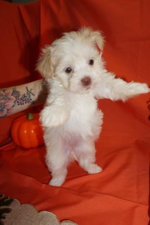 Havanese Breeder Fl Tlc Puppy Love
