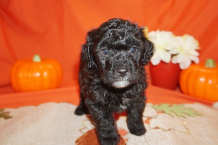 Jelly Bean Male CKC Havapoo $1750 Ready 11/3 SOLD GOING TO FOLKSTON, GA 2.5lbs 5wk4d old