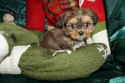 Jelly Female CKC Shorkie $1750 Ready 1/3 SOLD MY NEW HOME FOREST HILLS, MD 1.15lbs 6wk1d old