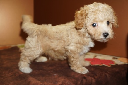 Alex Male CKC Maltipoo $2000 Ready 11/10 SOLD! My new home is in Jacksonville, FL 1.15 lbs 7W2D Old