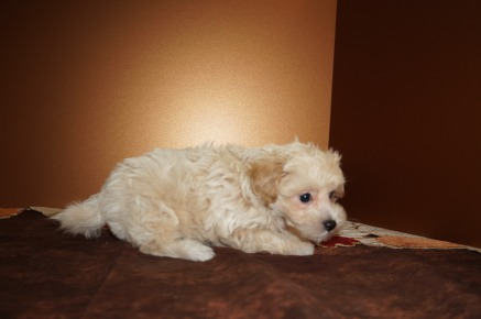 Andy Male CKC Maltipoo $1750 Ready 11/10 SOLD I'M GOING TO ST JOHNS, FL 2.6 lbs 7W2D Old