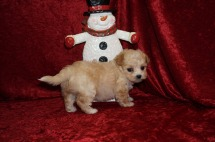 Baba Lou Male CKC Malshipoo $1750 Ready 12/4 SOLD I'm going to TN 1.10 lbs 6 Wks Old