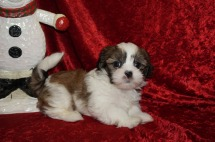Bear Male CKC Havashu $1750 Ready 11/27 SOLD MY NEW HOME Tallahassee, FL 2.3 lbs 7 wks old