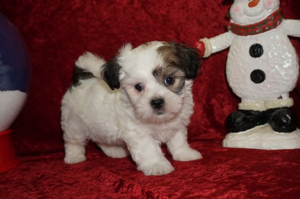 Buster Male CKC Havashu $1750 Ready 11/27 SOLD MY NEW HOME KINGSLAND, GA 2.14 lbs 7 wks old