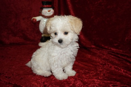 Kacey Female CKC Shihpoo $1750 Ready 11/14 SOLD MY NEW HOME JACKSONVILLE, FL, 1.12 lbs 7 wks old
