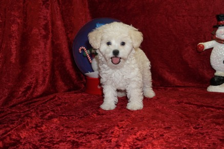 Kala Female CKC Shihpoo $1750 Ready 11/14 SOLD MY NEW HOME HAMPTON, VA, 3. 2 lbs 8W5D old