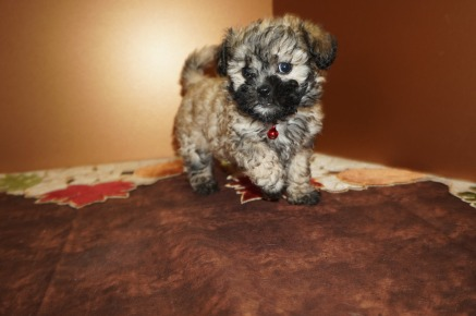 Kiwi Female CKC Shihpoo $1750 Ready 11/14 SOLD I'M GOING TO JACKSONVILLE, FL, 1.11 lbs 6W5D Old
