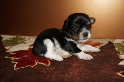 Linguine Male CKC Havashire A/K/A Yorkinese $2000 Ready 12/12 AVAILABLE 12.2 OZ 2W5D Old