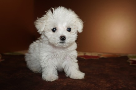 Peaches Female CKC Havanese Born 9/6 $1750 Ready 11/2 SOLD MY NEW HOME FT MYERS, FL 1.8 lbs 8W5D Old