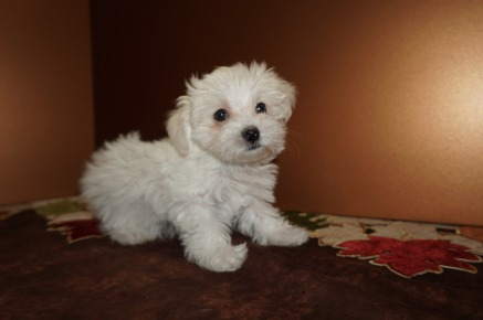 Polly Female CKC Havanese Born 9/6 $1750 Ready 11/2 SOLD MY NEW HOME ST AUGUSTINE, FL 2.5 lbs 8W5D Old