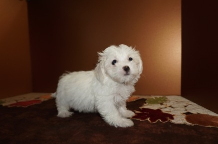 Porkchop Male CKC Havanese Born 9/6 $1750 Ready 11/2 HAS DEOSIT MY NEW HOME Los Angeles CA 2.2lbs 8W4D