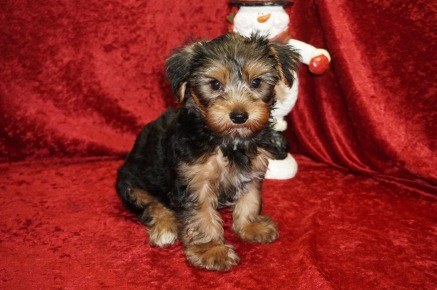 Sold Shaggy Adorable Male Ckc Yorkie He Is Sure To Shower You With