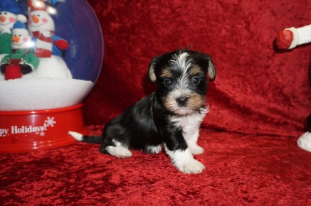 Zitto Male CKC Havashire A/K/A Yorkinese $1750 Ready 12/12 AVAILABLE 1.14 LBS 4W5D Old