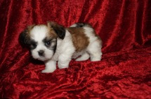 Bailey Female CKC Havashu $1750 Ready 11/27 SOLD MY NEW HOME FERNANDINA BEACH, FL 1.12 lbs 7 wks old