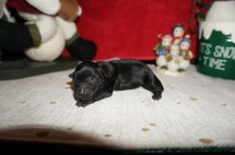 Bowzer Male CKC Morkipoo $1750 Ready 1/23 HAS DEPOSIT MY NEW HOME CALLAWAY, MD 5.4 oz 1 Day Old