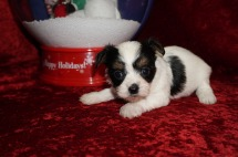 Fritta Female CKC Havashire A/K/A Yorkinese $2000 Ready 12/12 HAS DEPOSIT MY NEW HOME JACKSONVILLE, FL 1.4 Lbs 4W5D Old