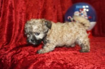 Kiwi Female CKC Shihpoo $1750 Ready 11/14 SOLD I'M GOING TO JACKSONVILLE, FL, 2.1 lbs 8W5D Old