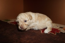 Max Male CKC Maltipoo $2000 Ready 12/7 HAS DEPOSIT! My new home is in Puerto Rico! 1.10 lbs 3W3D Old