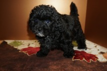 Oreo Male CKC Havapoo $1750 Ready 11/2 SOLD MY NEW HOME MILWAUKEE, WI 1.12 lbs 8W3D Old