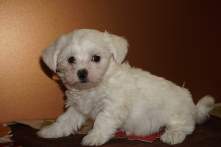 Pebbles Female CKC Havapoo $1750 Ready 11/12 SOLD MY NEW HOME AUSTIN, TX 2.5 lbs 7W2D Old