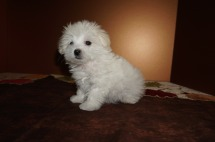 Precious Female CKC Havanese Born 9/6 $1750 Ready 11/2 SOLD MY NEW HOME JACKSONVILLE, FL 1 lb 8,5 oz 8W5D Old