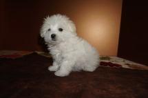 Precious Female CKC Havanese Born 9/6 $1750 Ready 11/2 SOLD MY NEW HOME JACKSONVILLE, FL 1 lb 8,5 oz 8W5D Old